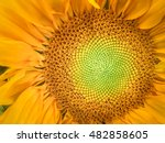 Sunflower Natural Background....