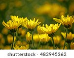 chrysanthemum flower field | Shutterstock . vector #482945362