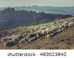 Large Flock Of Sheep Gathered...
