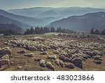Large Flock Of Sheep Resting I...