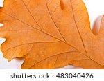 Close Up View Of Autumn Oak...