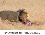 Lion Eating A Prey In Masai Mara