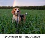 Dog Beagle On A Walk On A...
