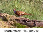 pheasant sitting on a tree... | Shutterstock . vector #483106942