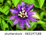 Purple Passion Flower ...