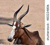 Antelope  Damaliscus Pygargus...