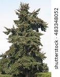 tall fir tree in seattle   Shutterstock . vector #483348052