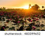 Lotus Flowers Sunset