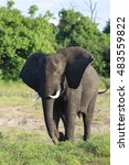 Small photo of African elephant in the wild