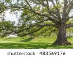 Ancient Plane Tree In A Park