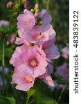 pink flowers of streambank wild ... | Shutterstock . vector #483839122