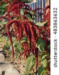 Small photo of Red catkin flowers of the amaranth plant (amaranthus)