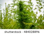 leafy top marijuana bud on... | Shutterstock . vector #484028896
