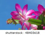Easter Cactus Flower Against A...