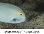 Small photo of The unhappy face of a feeding Pencilled Surgeonfish (Acanthurus dussumieri), a tropical coral reef fish, found at the pristine diving and tourism paradise the Maldive islands in the Indian ocean