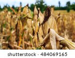corn with harvest in farm | Shutterstock . vector #484069165