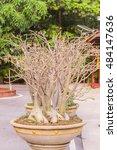 Small photo of Adenium obesum tree or Desert Rose, Thailand
