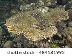 Small photo of Variegated sea cucumber on healthy solid table coral (Acropora clathrata) found at the pristine diving and tourism paradise on the Ari Atoll in the Maldive islands in the Indian ocean