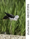 Small photo of Black-winged stilt standing on one (very long spindly) leg. It looks rather like it is doing ballet in arabesque pose!
