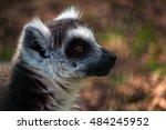 portrait of lemur catta.... | Shutterstock . vector #484245952