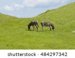 Two Donkeys Eat Grass In A...