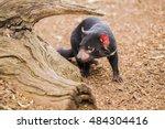 Tasmanian Devil In Hobart ...