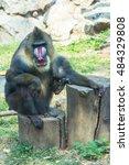 mandrill at zoo | Shutterstock . vector #484329808