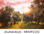 Farmer Harvesting Oranges In A...