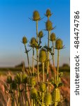 Small photo of Group of green wild teasel, dipsacus fullonum, dipsacaceae, cutleaf teasel, fuller's teasel, cornflower. Selective focus