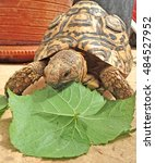 Leopard Tortoise And African...