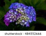 portrait of hortensia flower in ... | Shutterstock . vector #484552666