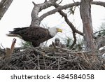 Bald Eagle  Haliaeetus...