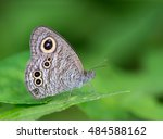 Small photo of Common Fivering(Ypthima baldus baldus), brown butterfly on Leaves and green background