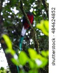 resplendent quetzal perched on... | Shutterstock . vector #484624852