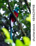 resplendent quetzal perched on... | Shutterstock . vector #484624948