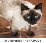 siamese cat with blue eyes ... | Shutterstock . vector #484729336