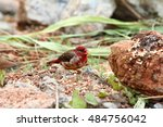 Small photo of Male red avadavat (Amandava amandava), He standing on a branch