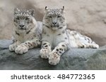 Pair Of Snow Leopards With...