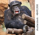 Portrait of an old male Schimpanzee 01 - stock photo
