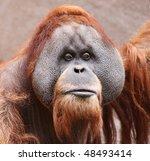 close view of an old male Orangutan 01 - stock photo