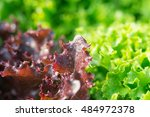Salad Leaf. Lettuce Salad Plant ...