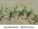 Small photo of This is Sporobolus virginicus, the Seashore dropsead, family Poaceae . It crows on sand dunes just above the high water mark - a pioneer plant with stolons and rhizomes, stabilizer of shorelines