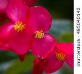 Close Up Of A Pink Begonia...