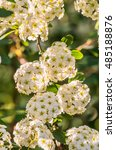 Small photo of White spiraea blooming