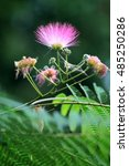 Small photo of Pink persia silk tree (albizia julibrissin) blossom in park.