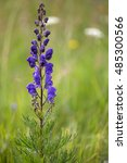 Small photo of Macrophotography of a wild flower (Aconitum napellus)