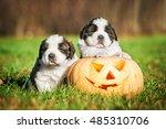 Funny Saint Bernard Puppies...