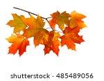 branch of autumn maple leaves... | Shutterstock . vector #485489056