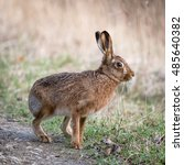 Stock photo hares and jackrabbits are leporids belonging to the genus lepus 485640382