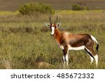 Small photo of Bontebok in The Perfect Pose - Bontebok is a medium-sized, generally dark brown antelope with a prominent. Both sexes have horns, although the horns of rams are heavier and longer than those of ewes.